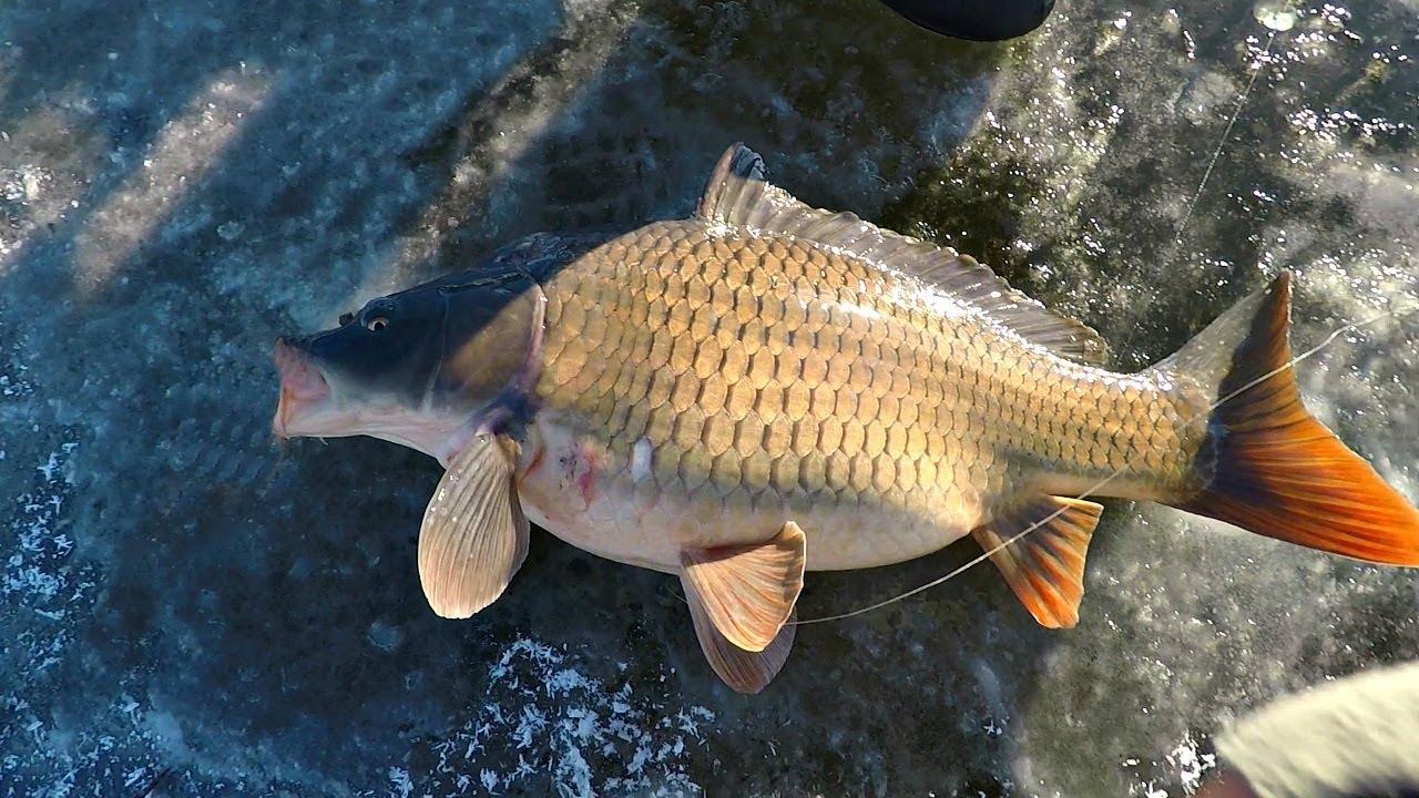Приехал ловить карпа со льда! Подводные съемки в коряжнике! Зимняя рыбалка с Михалычем!