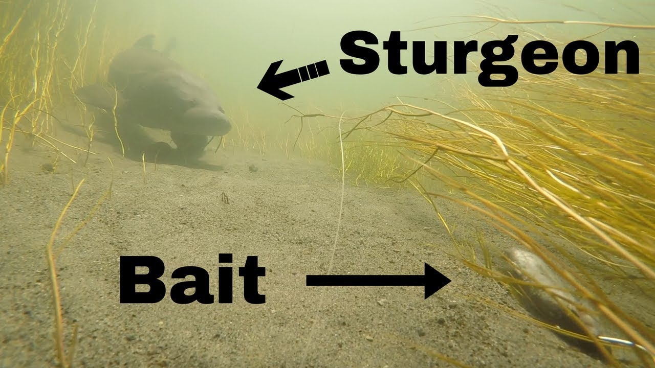 Sight Fishing for Monster Sturgeon in a tiny Creek (Underwater View!)  Pt. 3