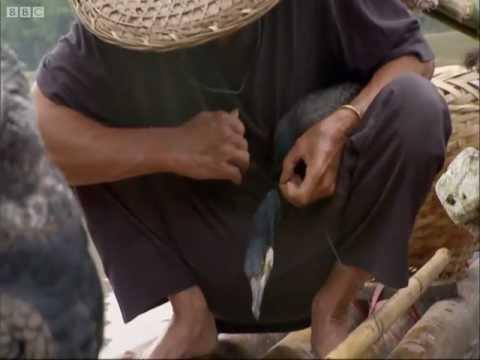 Fishing with birds! — Wild China — BBC