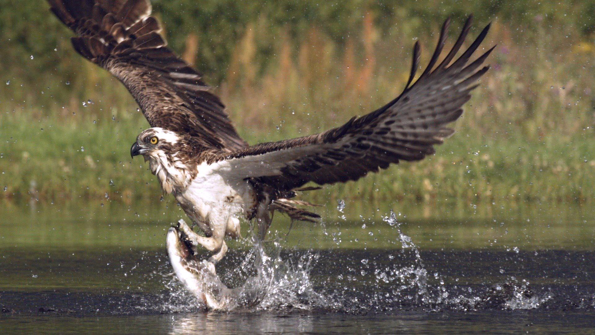 An osprey fishing in spectacular super slow motion | Highlands — Scotland's Wild Heart