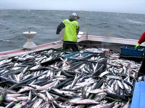 mackerel fishing near Port Hood aboard….itsnowornevertunacharters