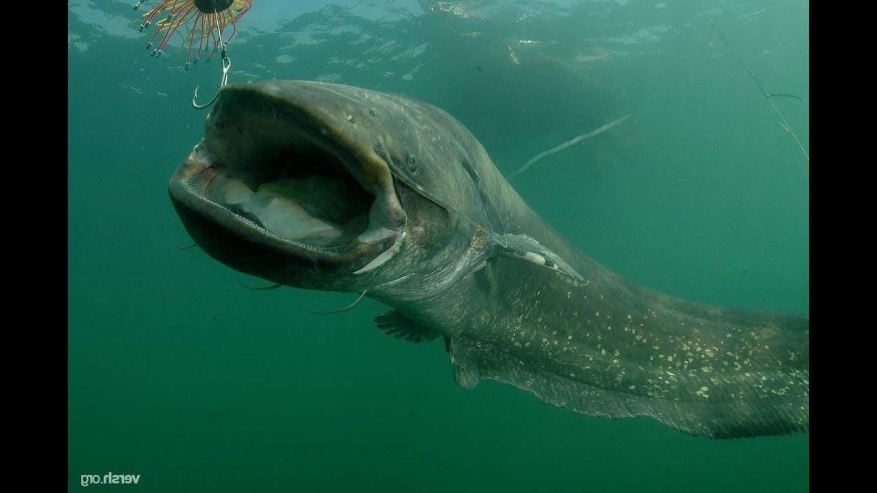 Русская рыбалка 4 Охота за сомом продолжается (((