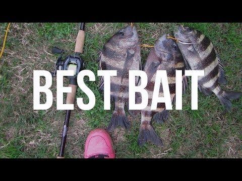 How to Catch Sheepshead | Best Bait To Use | Fishing for Sheepshead Inshore Fishing