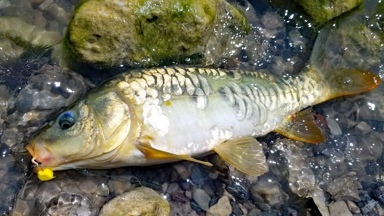 Fishing for carp in the desert! Mirror carp madness!!!!
