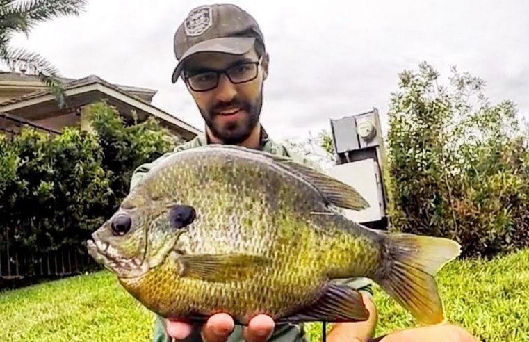 Fishing for 12 INCH BLUEGILL!