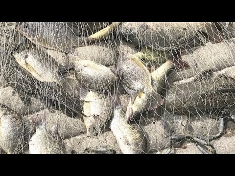 Cast Net Fishing In Pond For Big Fish!