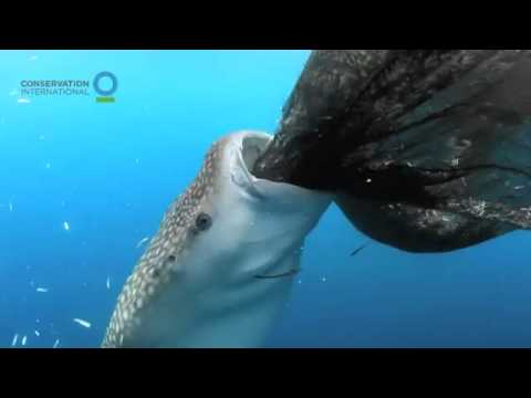 Whale shark sucks fish out of hole in fishing net — Conservation International (CI)