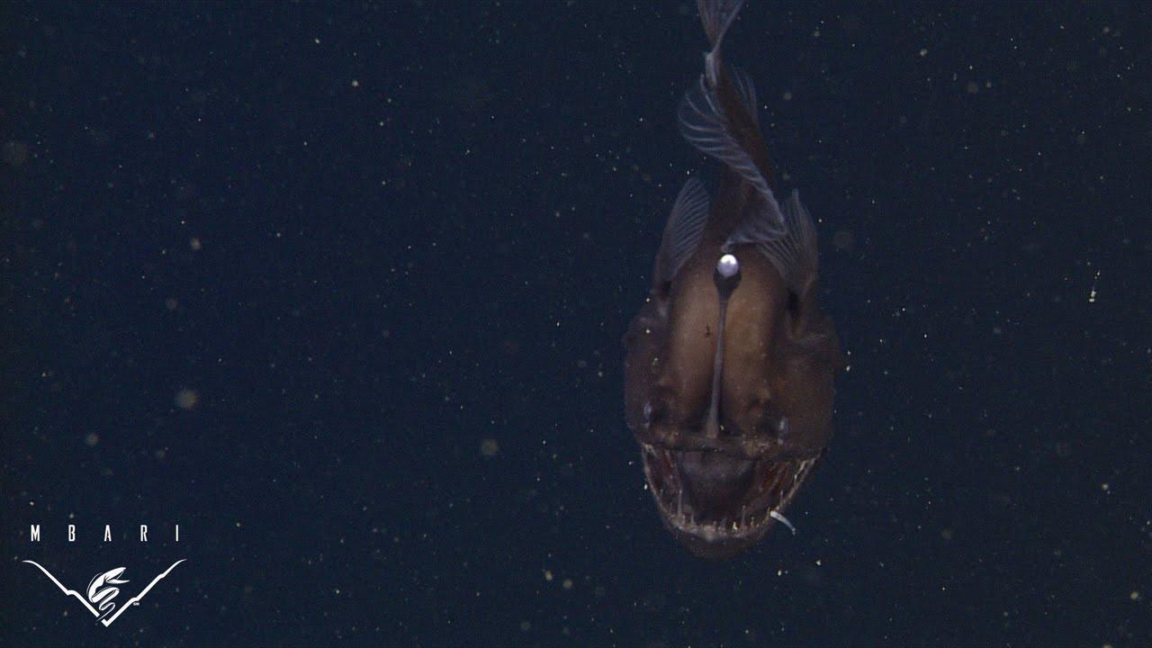 The anglerfish: The original approach to deep-sea fishing
