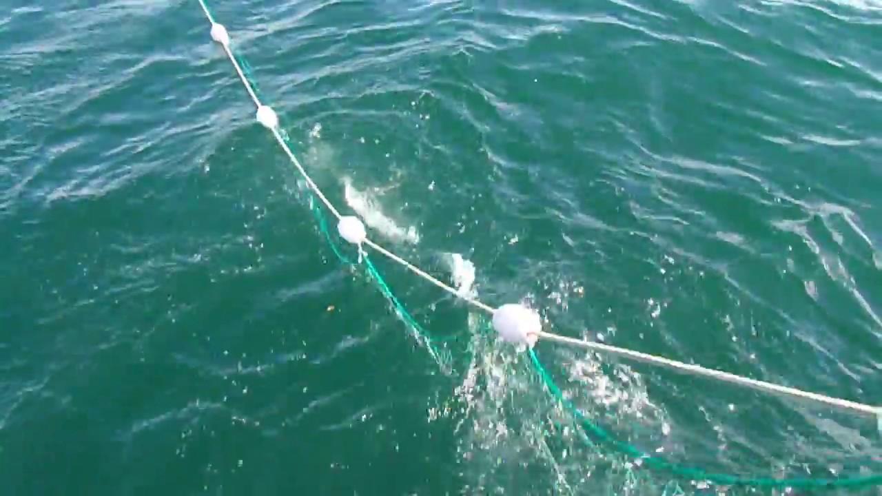 Salmon Gill Net Fishing 2016