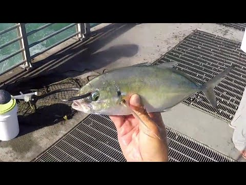 Jetty Giants Big Bait and More Fishing Action