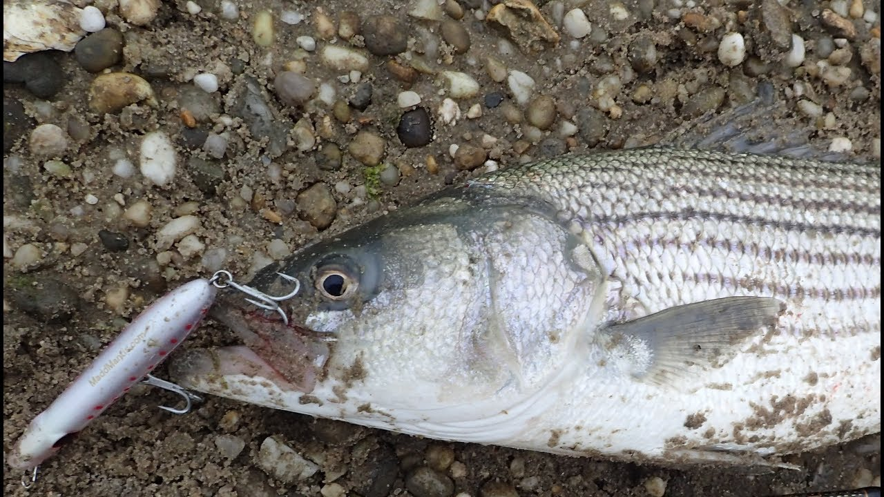 Striped Bass and Bluefish Surf Fishing — Awesome New Pencil Lure